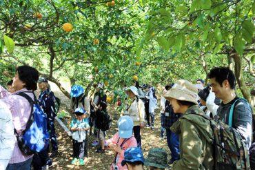 甘夏収穫体験会 晴天のもと終了しました