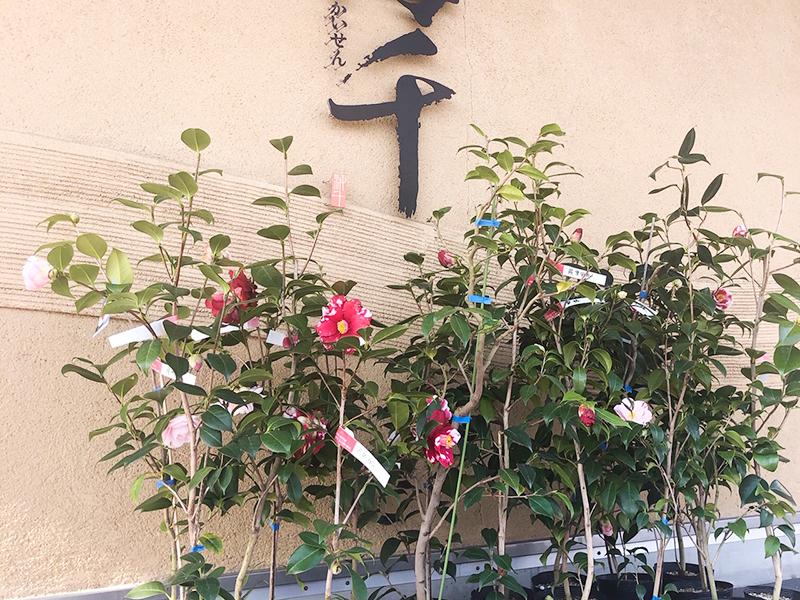 コロナ自粛前の地島2 2回目の椿植樹